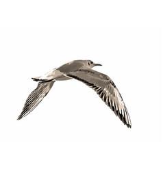 Sea gull vector