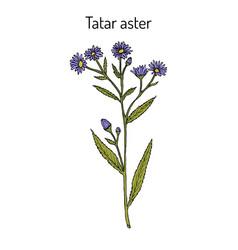 Tatarinows aster aster tataricus medicinal plant vector