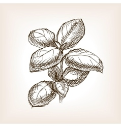 Basil hand drawn sketch style vector