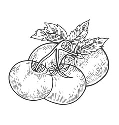 tomato sketch engraving vector image