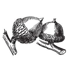 spanish oak acorn vintage vector image
