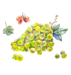 Set of grapes watercolor vector