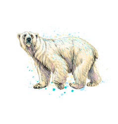 abstract polar bear from a splash watercolor vector image