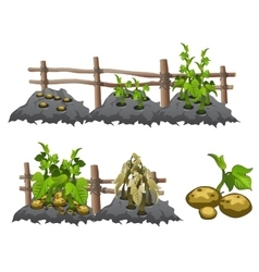 Growth stages of potatoes agriculture vector image