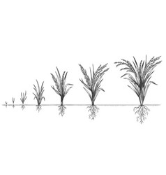 Rice growth plant crop growing cycle sketch life vector