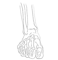 Front view foot bones vector