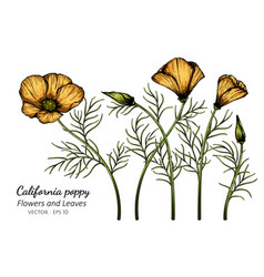 Orange california poppy flower and leaf drawing vector