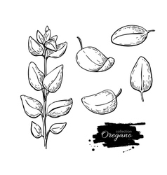 Oregano set drawing Isolated Oregano plant vector