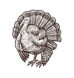 turkey farm animal sketch isolated turkey bird on vector image