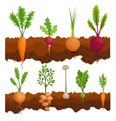 collection if vegetables growing in ground vector image
