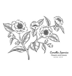 camellia japonica flower and leaf drawing with vector image