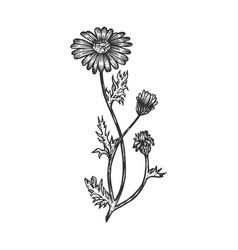 officinalis chamomile medical plant sketch vector image