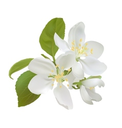 White apple flowers vector image