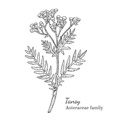 Ink tansy hand drawn sketch vector