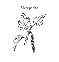 Silver poplar branch vector