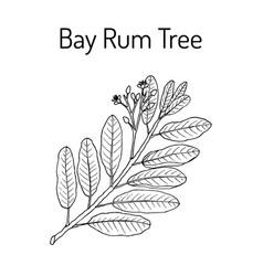 Bay rum pimenta racemosa medicinal plant vector