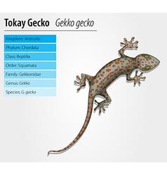 Tokay gecko - Gekko gecko vector image