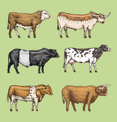 Farm cattle bulls and cows natural milk and meat vector