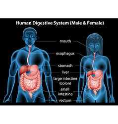 Human digestive system vector image