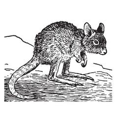 Rat kangaroo vintage vector