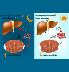 Skeletal muscle and liver metabolism vector
