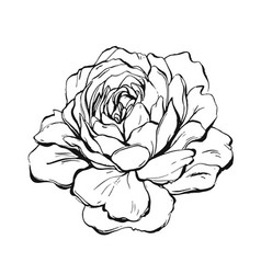 hand made abstract graphic ink peony or vector image