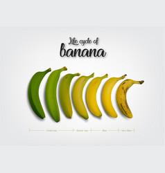 Life cycle of banana vector
