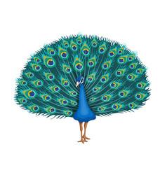 Peacock beauty tropical bird on a white vector