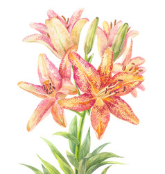 Hemerocallis day-lily vector