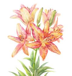 hemerocallis day-lily vector image