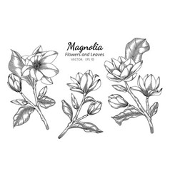 Magnolia flower and leaf drawing with line art on vector