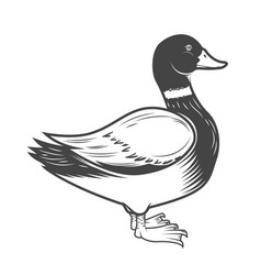Wild duck isolated on white vector