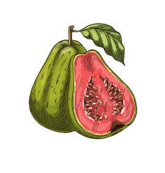 Guava tropical fruit sketch isolated icon vector