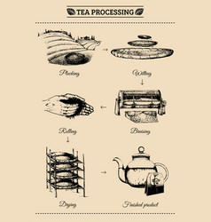 infographics with of tea vector image