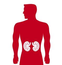 human kidneys medicine anatomy vector image vector image