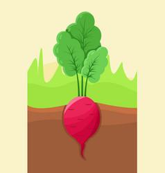 radish growing in ground vector image