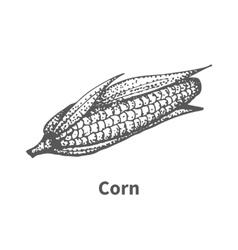 Hand-drawn corn vector