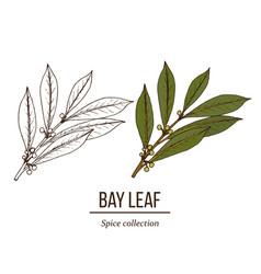 Medicinal and kitchen plant laurel laurus nobilis vector