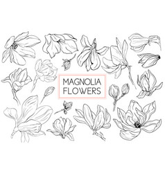 Magnolia flowers drawing and sketch with line-art vector