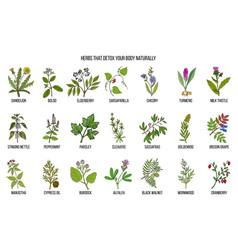 Best herbs for body detox vector