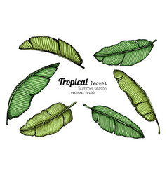 set banana leaf drawing with line art on white vector image