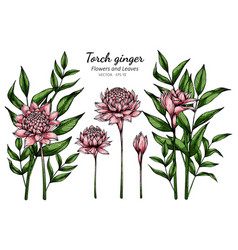 Set pink torch ginger flower and leaf drawing vector