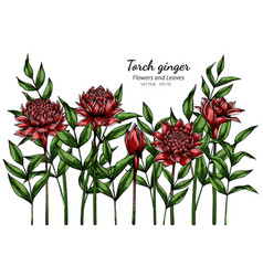 Red torch ginger flower and leaf drawing vector