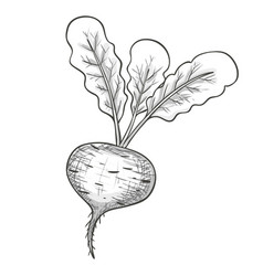 Monochrome sketch beet vector
