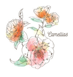 Camellias flower painting on white background vector