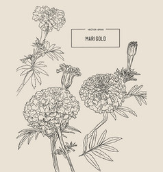 Orange marigolds hand draw sketch vector