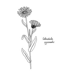 Ink drawing plant of calendula vector