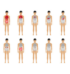Main 12 human male body organ systems flat vector