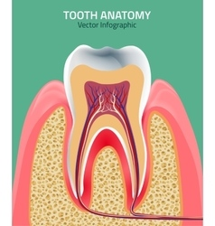 Teeth anatomy vector image