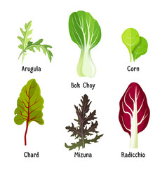 Set of healthy edible herbs green arugula bok vector